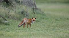 Vos - Fox - Vulpes vulpes  -2892 (Theo Locher) Tags: fox vos fuchs renard vulpesvulpes mammals zoogdieren säugetiere mammifères netherlands nederland copyrighttheolocher