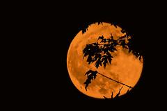 Harvest Moon- Oct 2017 (Peeb-OK) Tags: harvest moon full orange landscape lunar trees nature