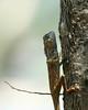 Lizard - Vietnam (lotusblancphotography) Tags: vietnam nature animal wildlife faune lizard closeup lézard