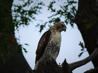 Juvenile Red-tailed hawk at attention