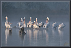 Let's see 'em in the mist (WanaM3) Tags: wanam3 nikoin d7100 nikond7100 texas pasaden clearlakecity horsepenbayou bayou outdoors mist nature wildlife canoeing paddling bird pelican americanwhitepelican