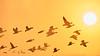 Fly towards the sun. (HIromi Kano) Tags: japan miyagi kurihara wildbird wildlife wildgoose nature animal sky autumn fly flying flight eaafp ramsarconvention sunrise 日本 伊豆沼 宮城県 マガン 野鳥 自然 秋 秋空 ラムサール条約 栗原市 ngc