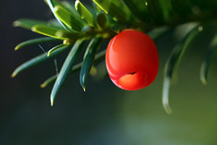 Taxus (gripspix) Tags: 20171016 autumn herbst impressions impressionen eindrücke ywetree eibe taxusbaccata arillus fruit conifer konifere nadelbaum