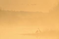 Cranes in Foggy Sunrise-48742.jpg (Mully410 * Images) Tags: burnettcounty birdwatching birding crexmeadowsstatewildlifearea sandhillcranes bird crane wisconsin birds sunrise fog nikon d4 birdsinflight crexmeadows