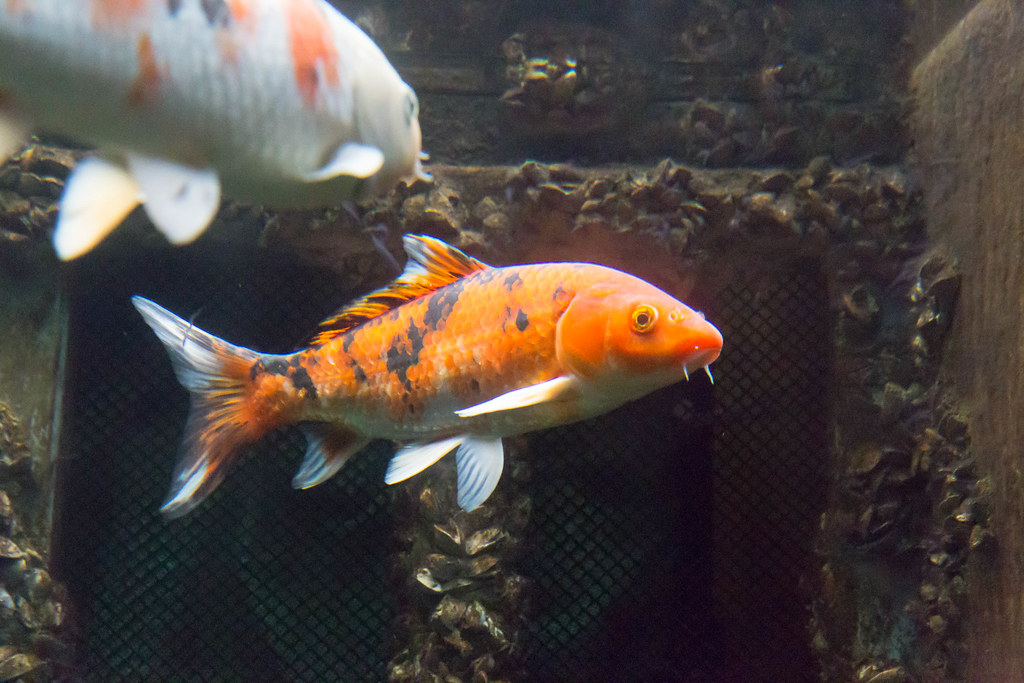The world 39 s best photos of koi and water flickr hive mind for Koi tank size
