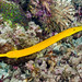 Trumpetfish, yellow form - Aulostomus chinensis