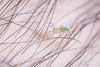Ghost Spider - Arachtober 14 (jciv) Tags: spider macro hair arm file:name=dsc05555 skin arachnid