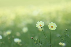 cosmos (* Yumi *) Tags: cosmos flower コスモス イエローキャンパス 昭和記念公園
