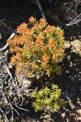 Crassula dejecta (Crassulaceae)