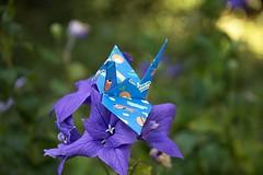 Paper Crane and Platycodon grandiflorus (Ichigo Miyama) Tags: ツルとキキョウ papercrane flower platycodongrandiflorus origami おりがみ ツル 折り紙 折り鶴 paper キキョウ おりがみ写真 origamiphoto 花origami 花 フジバカマ