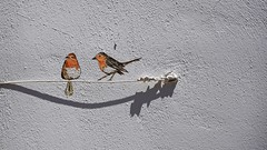 summer moods (JoannaRB2009) Tags: bird birds wire wall sunny light shadow painting kissamos crete kriti kreta greece greek summer mood