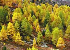 Impressioni d'autunno (stefano.chiarato) Tags: autunno autumn impressioni colori bosco bernina montagne mountains svizzera pentaxart pentax pentaxlife pentaxk70