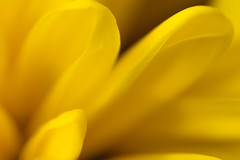Sunday (Anton Yeroma) Tags: yellow flowers flower sun bud abstract photo art abstraction petal photography atmosphere stamen daisy aster blossom gerbera artwork pollen stem bloom chrysanthemum stems