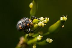 Leppäkertun toukka (Sami Kaukolinna) Tags: canoneos550d coccinellidae makro nissindi866markii smcpentaxm50mmf17 salama extensiontube flash ladybug larva leppäkerttu leppäkertuntoukka macro makrokuvaus reversedlens ötökkä