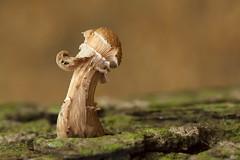 Paddestoel - Clingendael (mariandeneijs) Tags: paddenstoel paddestoel mushroom fungi toadstool bos landgoedclingendael landgoed clingendael