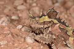 Thorny Devil (Moloch horridus) (shaneblackfnq) Tags: thorny devil moloch horridus shaneblack dragon lizard reptile middleback ranges south australia gravid