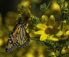 MonarchButterfly_SAF4497-4 (sara97) Tags: danausplexippus butterfly endangered insect missouri monarch monarchbutterfly nature outdoors photobysaraannefinke pollinator saintlouis towergrovepark