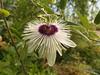 Passiflora jardin jungle 18 (karlostachys) Tags: passiflora jardinjungle normandie