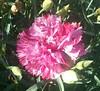 (sftrajan) Tags: sanfranciscobotanicgardengolden strybingarboretum flower flor fleur pink goldengatepark botanicalgarden jardinbotanico botanischergarten jardimbotânico jardinbotanique sanfrancisco california sanfranciscobotanicgarden ботаническийсад