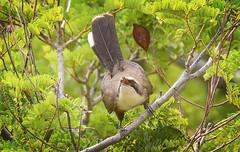 grey-crowned babbler in the yellow flame tree (Fat Burns ☮ (on/off)) Tags: greycrownedbabbler omatostomustemporalis babbler bird australianbird fauna australianfauna nature nikond500 sigma150600mmf563dgoshsmsports barcaldine queensland australia outback outdoors