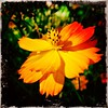 Still blooming. #takoma #dc #dclife #washingtondc #iPhone365 #iPhone7plus #iPhone #iPhonemacro #macro  #flower #flowersofinstagram (Kindle Girl) Tags: iphone takoma dc dclife washingtondc iphone365 iphone7plus iphonemacro macro flower flowersofinstagram