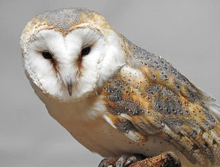Coruja-das-Torres / Barn Owl (Tyto alba)