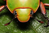 Spectacular jewel scarab beetle (Chrysina spectabilis) (edward.evans) Tags: sierradelmerendón merendónmountains merendon merendonmountains honduras cusuco cusuconationalpark operationwallacea opwall cloudforest rainforest wildlife nature centralamerica latinamerica macro insect jewelscarabbeetle jewelscarab jewel scarab beetle chrysina spectabilis chrysinaspectabilis endemic coleoptera