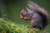 Red Squirrel - nut o'clock (Gareth Keevil) Tags: autumn curious cute detail fluffy fluffytail garethkeevil hawes nationalpark nikon northyorkshire red redsquirrel snaizeholme squirrel uk upclose whiskers woodland yorshiredales