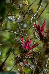 Epifitas (miguel vanegas) Tags: bromelia bromelacea plantas epifitas bosque chingaza niebla colombia bella montaña camino outdoor roadlive