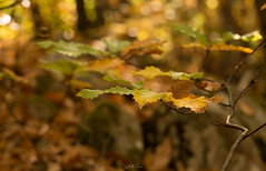 Foliage ((Raffaella@)) Tags: foliage leaves colors bokeh light sunlight autumn october wood forest yellow green brown orange macro