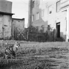 Cat Chronicles pt. 1. (Other dreams) Tags: backyard cat pride bw wildlife wild pack feline portrait rolleiflex xenotar fp4 katze kot koty caturday catportrait royallook pomerania bokeh film analog morninglight goldenhour