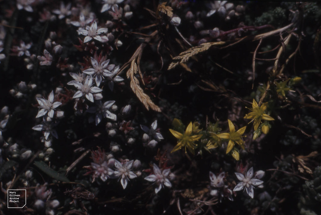 Sedum anglicum,  - acre, Catapodium marinum. Landing place. Bardsey