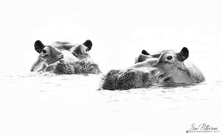 Hippos on the Chobe - Explored