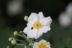 Ladybug (elianek) Tags: flower nature zoom ladybug joaninha natureza