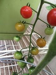 My little balcony (kellyagrey) Tags: tomato garden balcony citygarden basil jalapeno pepper gypsypepper fresh food organic greenonion
