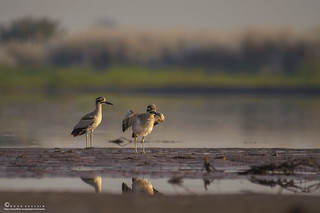The great stone-curlew