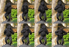 9873 Optreden van Bokito jong (j@n2012) Tags: blijdorpzoo bokito gorilla anthropoidape mensaap