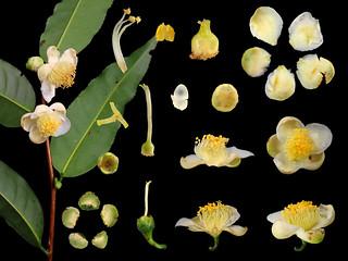 Theaceae Camellia formosensis