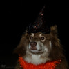 10/12/B tasku - the miserable witch (sure2talk) Tags: tasku finnishlapphund themiserablewitch witch halloween nikond7000 nikkor50mmf14gafs flash speedlight sb900 offcamera softbox diffused 12monthsfordogs 12monthsfordogs17 1012b