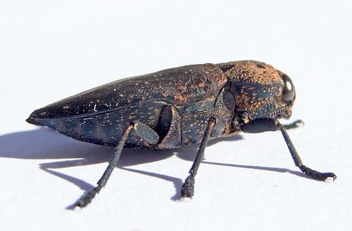 Capnodis tenebricosa