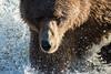 Water Drops (wyrickodiak_9) Tags: kodiak alaska brown bear grizzly water fishing drops river island mammal wildlife ursus