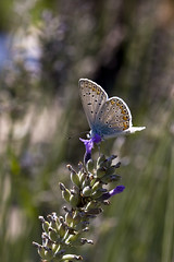 Common Blue Butterfly (Polyommatus icarus) (Steve_C) Tags: 2017 canoneos40d croatia september butterfly commonblue sestanovac
