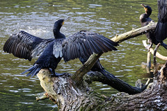 That Big? (Alfred Grupstra) Tags: bird nature animal wildlife feather water beak animalsinthewild cormorant outdoors lake blackcolor animalwing river flying