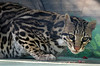 Rico (greekgal.esm) Tags: ocelot rico cat feline animal mammal carnivore efbc exoticfelinebreedingcompound felineconservationcenter thecathouse wildcatzoo rosamond antelopevalley kerncounty sony rx10m3 rx10iii