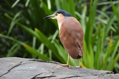 Nankeen Night Heron (Geoffsnaps) Tags: nikond810 nikon d810 fx nankeennightheron rufousnightheron nycticoraxcaledonicus nankeen night heron rufous nikonnikkor200500mmf56eedafs nikkor 200500mm f56e e ed afs gitzogm5541carbonmonopod gitzo gm5541 carbon monopod acratechpanoramichead acratech panoramic head ilovebirds ilovenature feathers birds animals nature beautiful beautyofnature birdsarebeautiful superbbirds goldcoast queensland australia rock explored