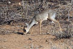 Samburu National Park - Kenya (lens buddy) Tags: samburunationalpark samburu gamereserve kenya africa wildlife nature safari