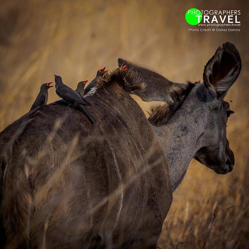 Oxpeckers & Kudu - Sabi Sabi 2014