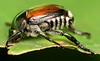 10.8 mm Japanese beetle (ophis) Tags: coleoptera scarabaeidae rutelinae popillia popilliajaponica japanesebeetle