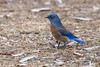Western Bluebird (male) (christopheradler) Tags: california western bluebird sialia mexicana