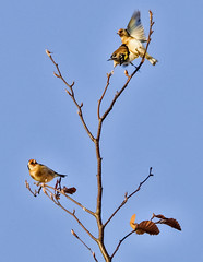 strange happenings at the tree top (I was blind now I see!) Tags: birds goldfinches goldfinch bird playing playfullness branches twigs treetops tree bluesky fighting stance watching